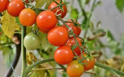 Des tomates maison, oui… mais pas là!